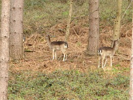 Deer in Homefield Wood