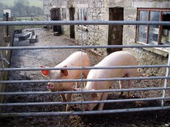 Pigs at Meadow Farm