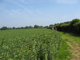Broad Beans, nr Fordcombe