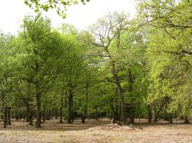 Burnham Beeches