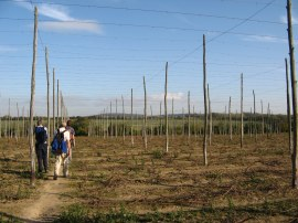 The small Hop field