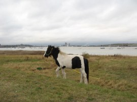 Pony grazing besides the river
