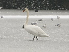 Swan, Highams Park Boating Lake